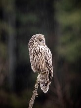 Ural Owl On A Tree In The Wild...