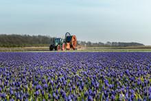 Traktor W Polu Niebieskich Kwi...