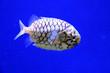 canvas print picture - 鱗がとても固い魚 マツカサウオの泳ぐ姿(日本の新江ノ島水族館)