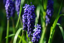 Grape Hyacinths In Front Of Gr...
