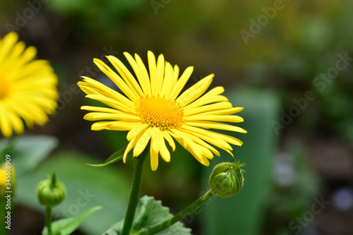 Stampa su Tela Close-up of Doronicum orientale or leopard's bane with bright yellow flowers