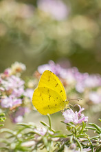 Close-up Of Yellow Butterfly Purple Flowers