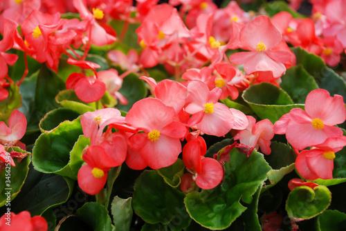 Fototapeta Begonias,semperflorens begonias,in the garden, potted begonia