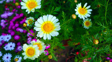 White Daisy Flower With Bright...
