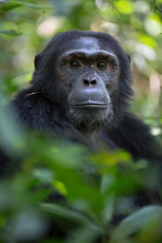 Portrait Of Wild Chimpanzee Primate