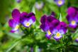 Purple violet flowers in the garden