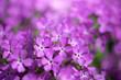 canvas print picture - Purple phlox flower close up.