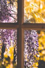 Purple Wisteria Flowers On A W...