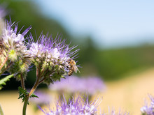 Honey Bee Collecting Honey Fro...