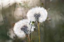 Dandelion Seedhead Closeup Capturing In Springtime