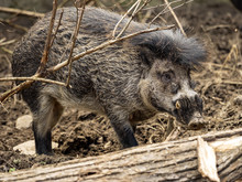 Portrait Of A Rare, Visayan Warty Pig, Sus Cebifrons Negrinus, Which Is Threatened With Extinction