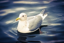 Close-up Of Seagull Swimming In Lake Against Sky