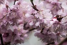 Macrophotography Of Cherry Blo...