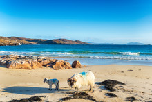 Sheep On The Sandy Beach At Hu...