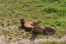 High Angle View Of Cheetahs Relaxing On Field