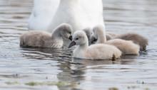 Beautiful Swan Chicks On A Lake