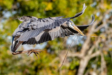 Great Blue Heron Flying With W...