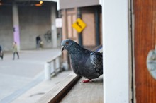 Close-up Of Pigeon On Window Sill