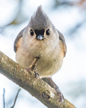 Small Tufted Titmouse Looks Cu...