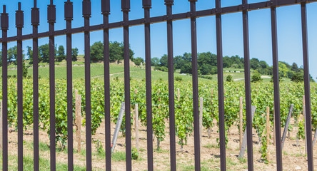 vines intended to make wines protecting great wines behind metal barriers