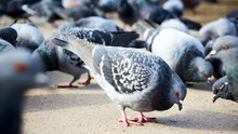 Flock Of Gray Doves With Orang...