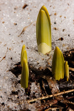 Daffodils Breaking Through The Melting Snow In Mid-March At Hartford, Wisconsin