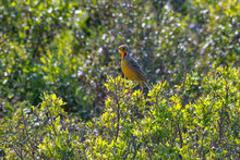 Cape Longclaw Photographed In South Africa. Picture Made In 2019.
