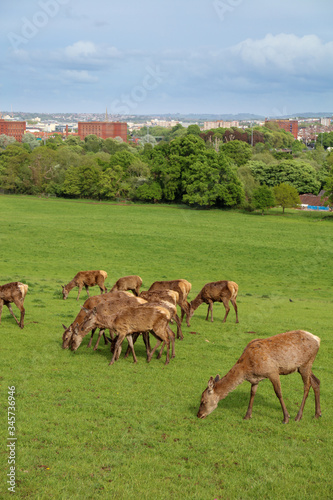 Leinwand Poster Red Deer (Cervus elaphus) in the park In Bristol