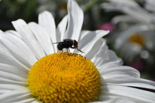 Closeup Fly On A Camomile Flower