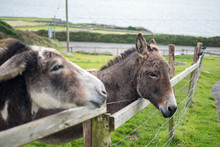A Couple Of Donkeys Poking Their Heads Out Past A Meadow Fence In Ireland