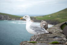 A Macro Shot Of A Seagull Star...