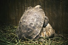 Side View Of Two Tortoises Mat...
