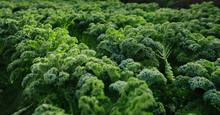 Close-up Of Fresh Organic Kale...