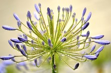 Close-up Of Water Drops On Agapanthus Buds Blooming Outdoors