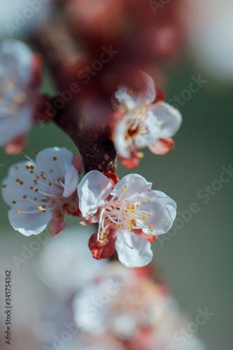 Fototapeta apricot blossom in full bloom obraz na płótnie