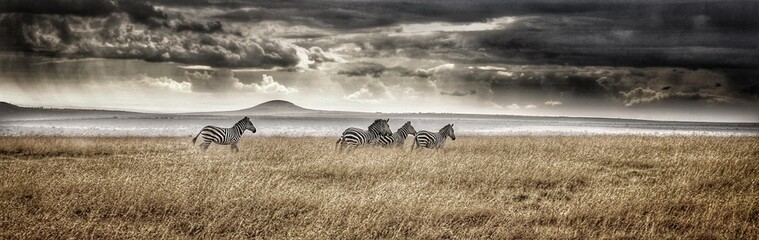 Panoramic View Of Zebras On Field Against Cloudy Sky