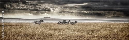 Fototapeta Panoramic View Of Zebras On Field Against Cloudy Sky obraz