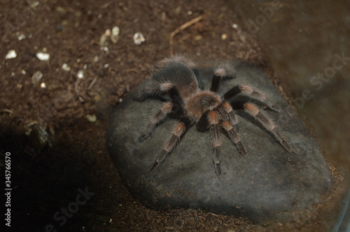 High Angle View Of Mexican Redknee Tarantula On Rock Fotobehang