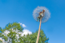 White Shiny Dandelion In Blue Sky,looking Up From Below