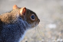 Close-up Of Squirrel Looking A...