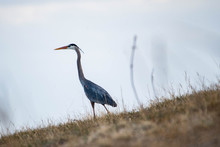 Blue Heron On The Prairies In Springtime