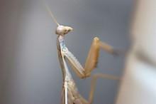 Close-up Of Brown Praying Mantis