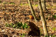 Bird.  The American Robin (Turdus Migratorius) Is A Migratory Songbird.