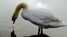 Swan Drinking Water At Lakeshore