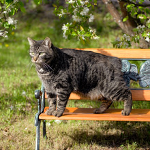 Manx Cat Standing On Wooden Be...