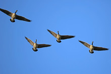 Four Canadian Geese In Flight ...