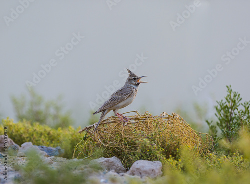 Crested Lark, Galerida cristata Rufous Naped Lark siging for all its worth Canvas-taulu