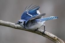 Blue Jays Flying