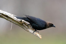 Cowbird Male With Brown Head