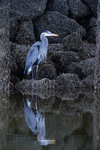 Blue Heron Standing On Rocks Near Water